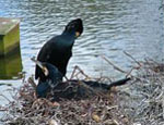 Cormorant on a nest
